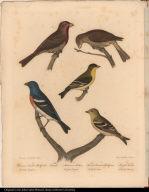 1. Crimson-headed Bullfinch. Pyrrhula Erythrina. 2. Female. 3. Arkansaw Siskin. Fringilla Psaltria. 4. Female American Goldfinch. Fringilla Tristis. 5. Lazuli Finch. Fringilla Amoena.