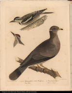 1. and 2. Young Yellow-bellied Woodpeckers. Picus Varius. 3. Band-tailed Pigeon. Columba Fasciata.