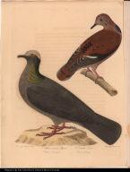 1. White-crowned Pigeon. Columba Leucocephala. 2. Zenaida Dove. Columba Zenaida.