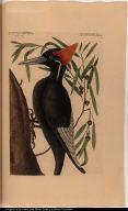 Willow Oak. ... Largest White Bill'd Woodpecker.