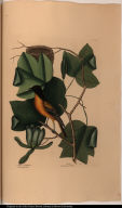 [The Baltimore Bird.] Arbor Tulipifera. The Tulip Tree. Icterus. The Baltimore Bird.