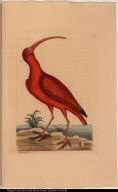 [The Red Curlew.] Numenius &c.