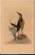 Ornithogalum luteum &c. Alauda Magna. The large Lark.