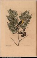 Carduelis Americanus. The American Goldfinch. Acacia abruoe folijs &c.