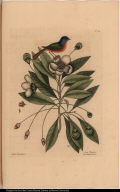 Althea Floridana. Avis Tricolor. The Painted Finch.