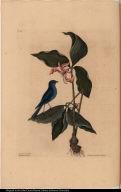 Linaria coerulea. The Blew Linnet. Solanum &c flore carneo.