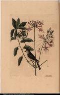 Cistus flore Periclymini. Parus cristatus. The crested Titmous.