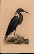 [The blew Heron.] Ardea caerulea