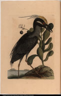 [The crested Bittern.] Ardea; Lobelia &c.