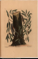 Sitta capite nigro. The Nuthatch. Quercus humilior &c. The highland Willow Oak. Sitta capite fusco. The Small Nuthatch.