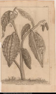 Theobroma Cacao. Linn. Le Cacotier.