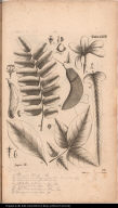 [12. Plumeriae ... 22. Psychotriae ... 34. Myrospermi ... 48. Nissoliae ... 56. Capparidis ... 66. Stemodiae ... 67. Diospyri ...]