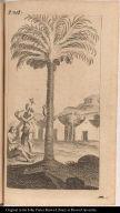 [Coconut palm]