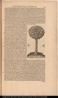 [Sassafras tree]