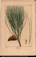 Pinus rubra. Red Pine.