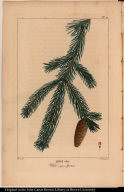 Abies alba. White (single) Spruce.