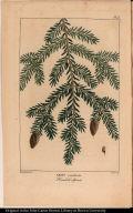 Abies canadensis. Hemlock Spruce.
