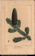 Abies balsamifera. American Silver Fir.