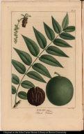 Juglans nigra Black Walnut.