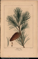 Pinus inops. N. Jersey Pine.
