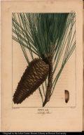 Pinus taeda. Loblolly Pine.