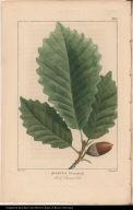 Quercus Pus. monticola. Rock Chesnut Oak.