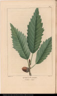 Quercus Pus. acuminata. Yellow Oak.