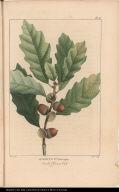 Quercus Pus. chincapin. Small Chesnut Oak.