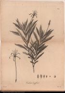 Cinchona longiflora.