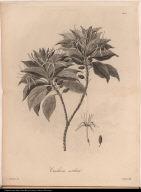 Cinchona caribaea.