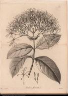Cinchona floribunda.