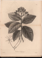 Cinchona brachycarpa.