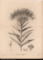 Cinchona angustifolia.