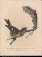 Der weissgeflügelte Kreutzschnabel von der N.W. Küste von America.