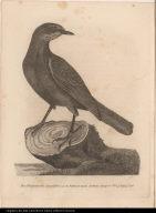 Der Patagonische Quackstärz von den Falkland's Inseln. Latham's Synopsis vol. 4. P. 434. No. 26.