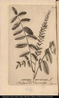 Amorpha fruticosa. L. Vulgo Indigoeira bastarda