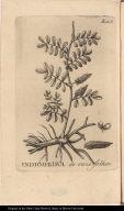 Indigoeria de onze folhas