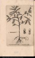 Indigoeira dendroide