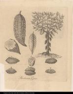 Theobroma Cacao.