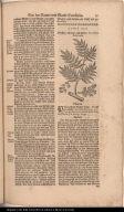 Mastix=Baum auss Peru / Lentiscus Peruviana.