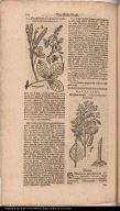 [lower right] Balsam=baum. Arbor Balsamifera Peruviana.
