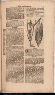 Indianisch Korn Mays genant. / Frumentum Indicum, Mays dictum.