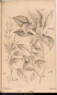 [Justicia, unknown plant, and Petesia ]