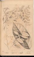 [Pterota, Xylopicrum, Polygola, and Alicastrum]
