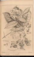 [Pavetta or wild jasmine and Coccocipsilum]