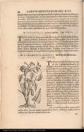 De Tomahuactlacopatli Aristolochia Mexicana.