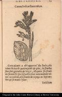 Canna Indica flore rubro.