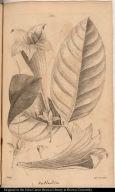 [Large-leaf'd Portlandia.]