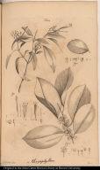 [Chrysophyllum and Coccolobis or Erythroxylum]