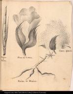 Canne a Sucre. Fleur de Cotton. Cotton épanoüi[.] Racine de Manioc.